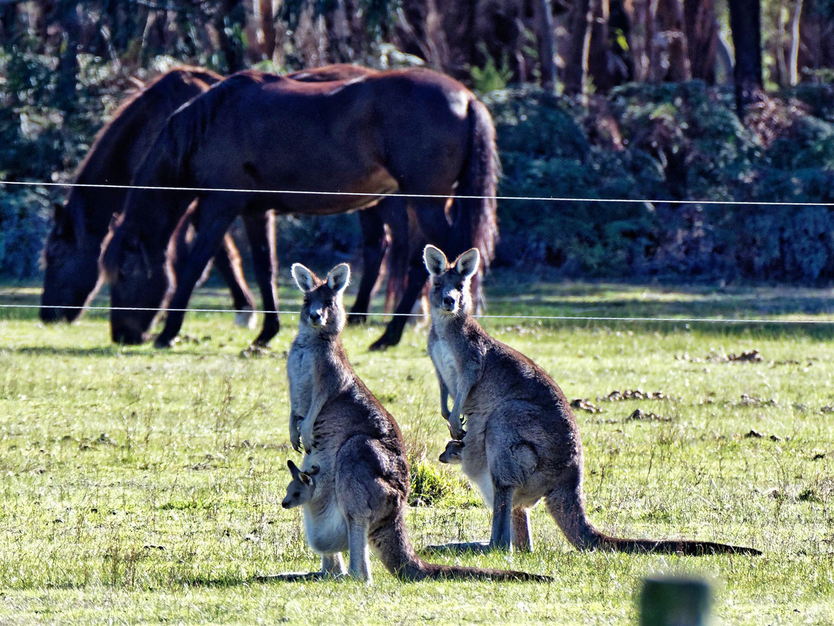 Kangaroos-51-detail.jpeg