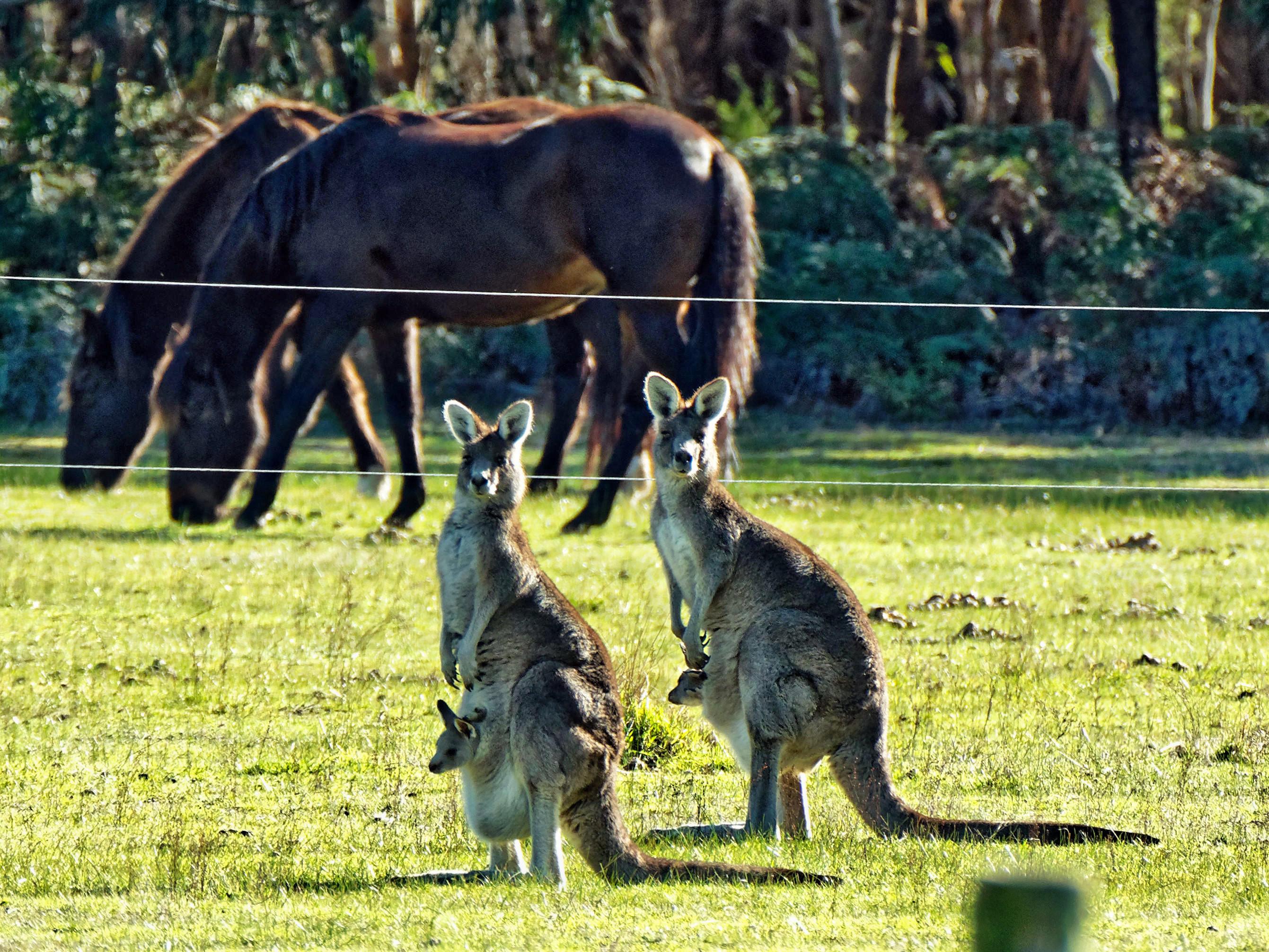 Kangaroos-51.jpeg