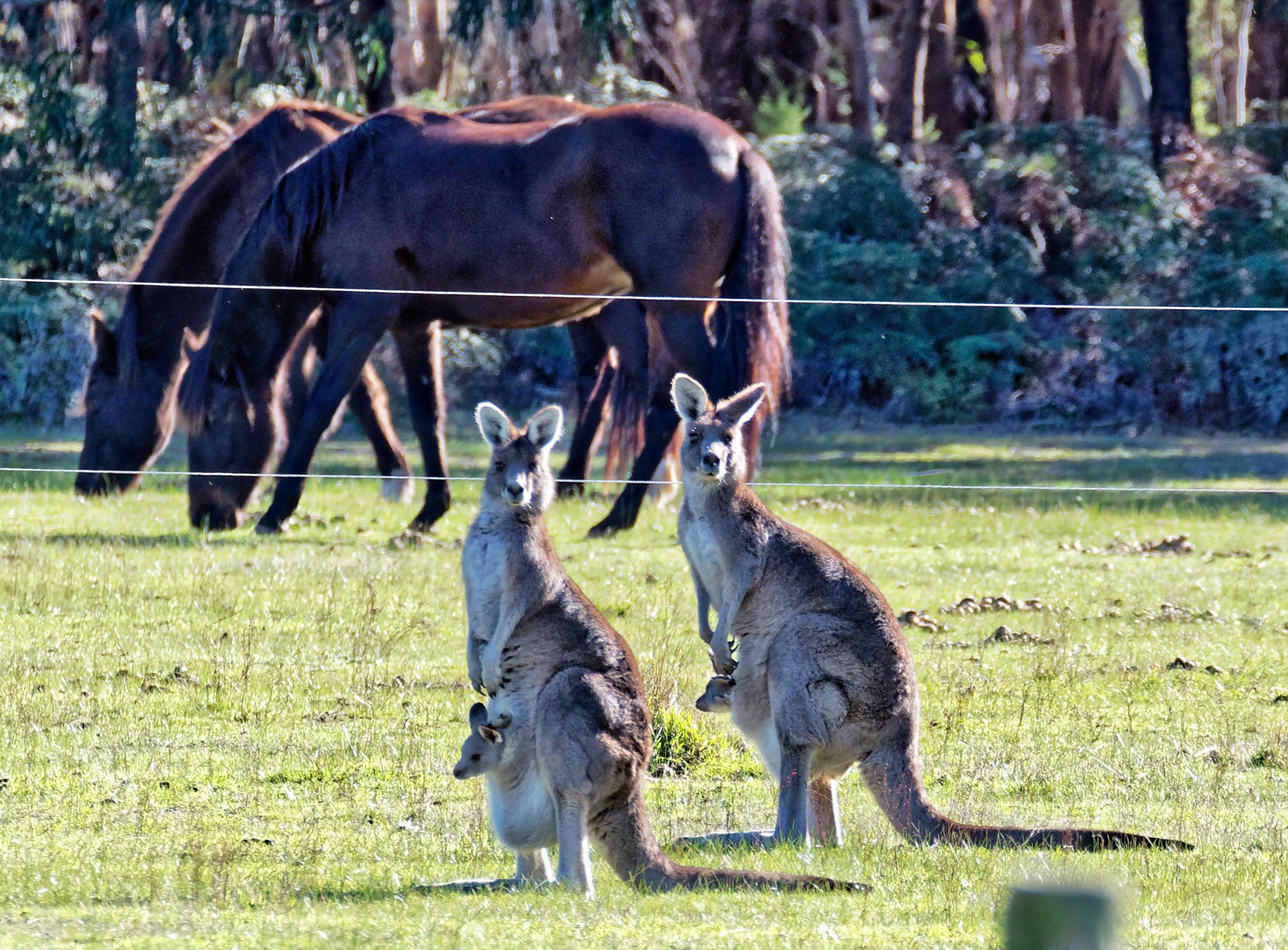Kangaroos-52-detail.jpeg