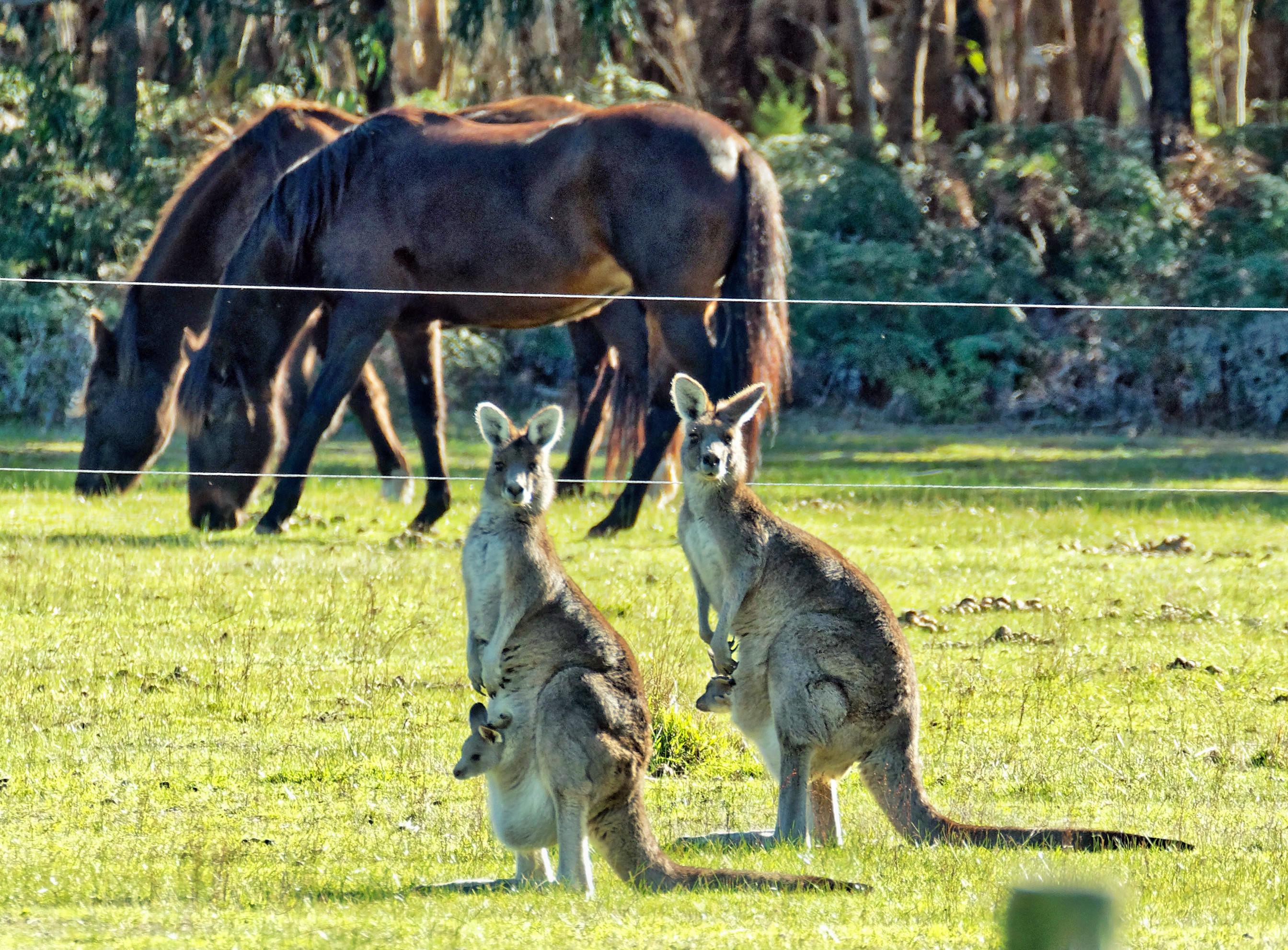 Kangaroos-52.jpeg