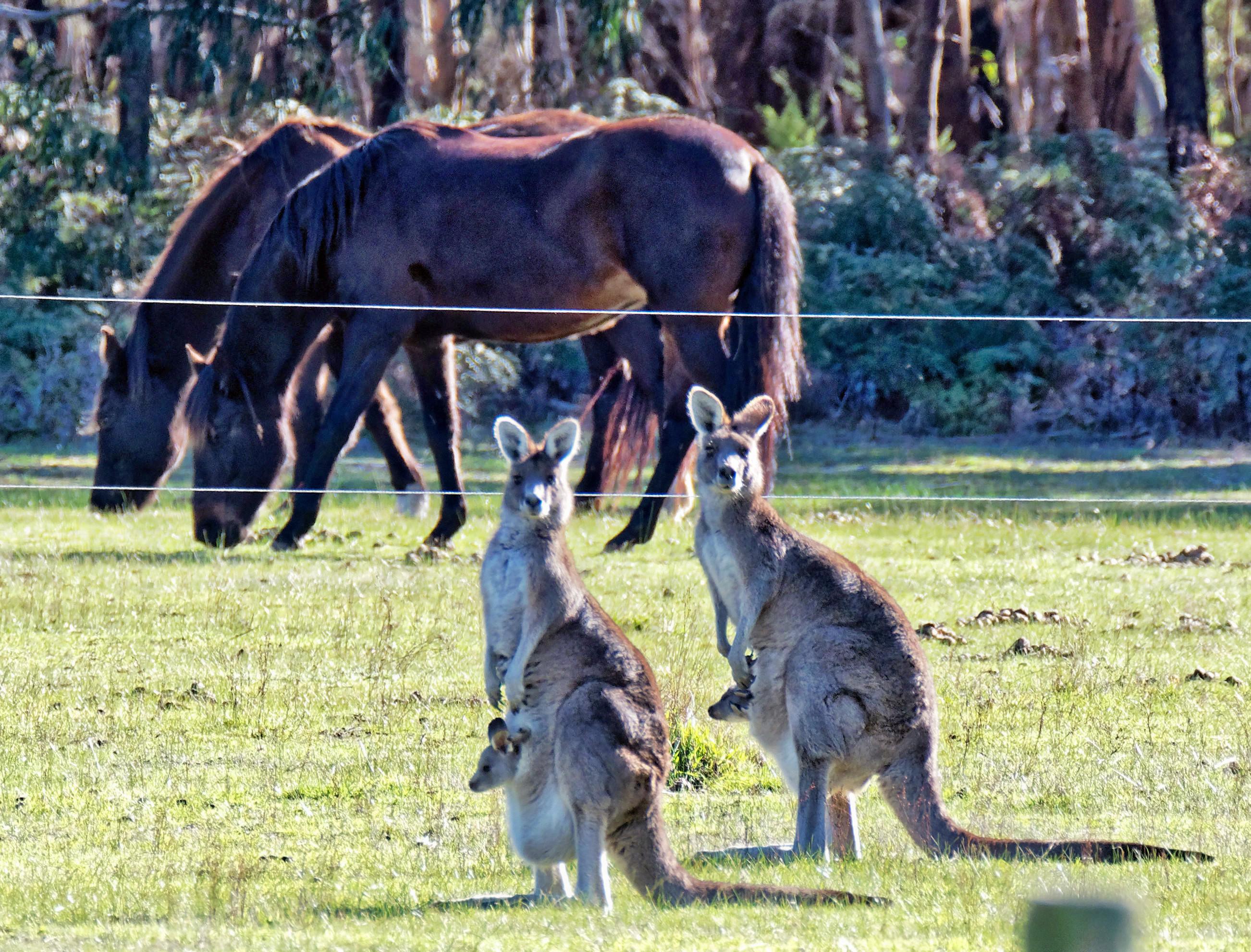 Kangaroos-53-detail.jpeg