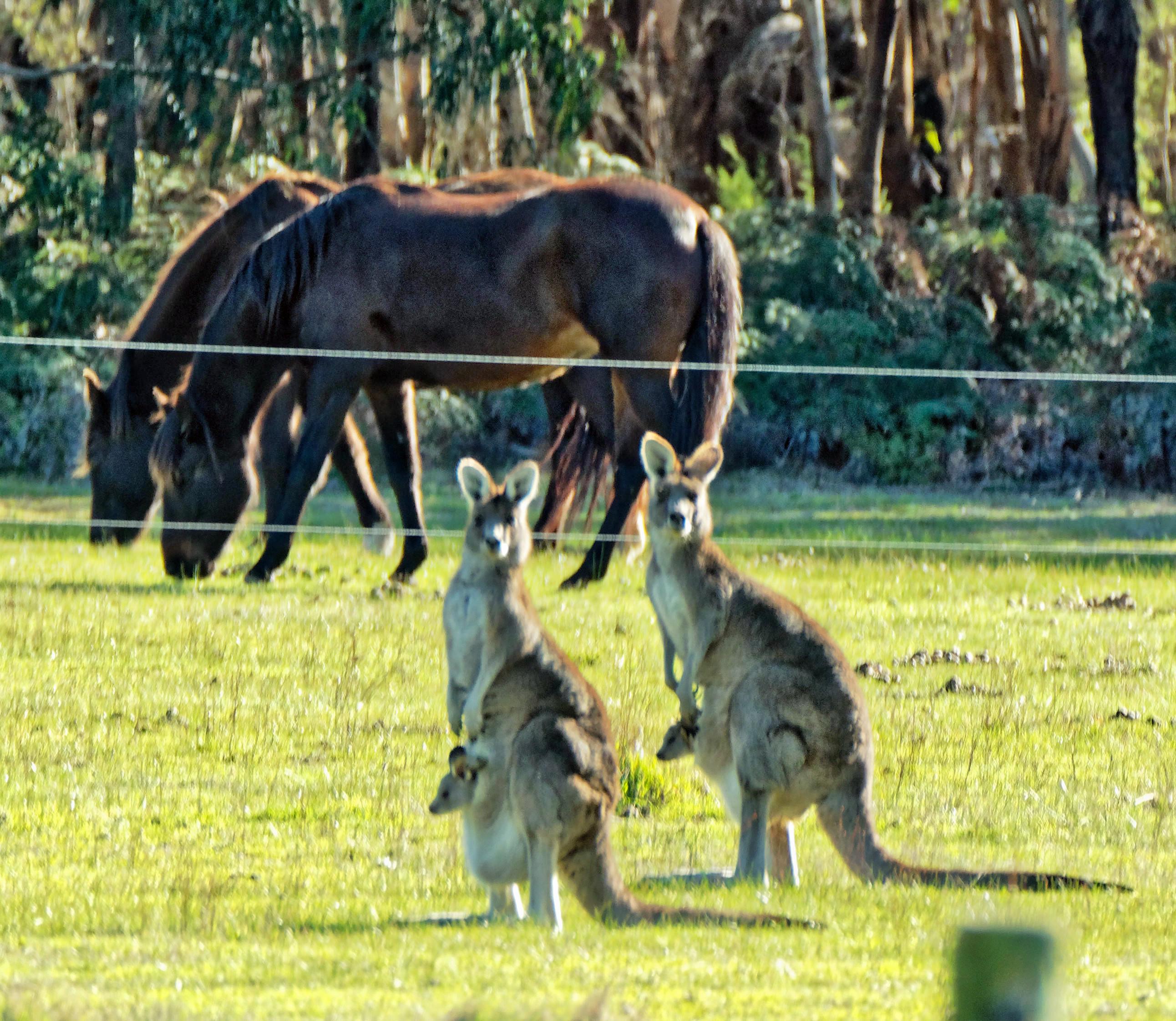 Kangaroos-55.jpeg