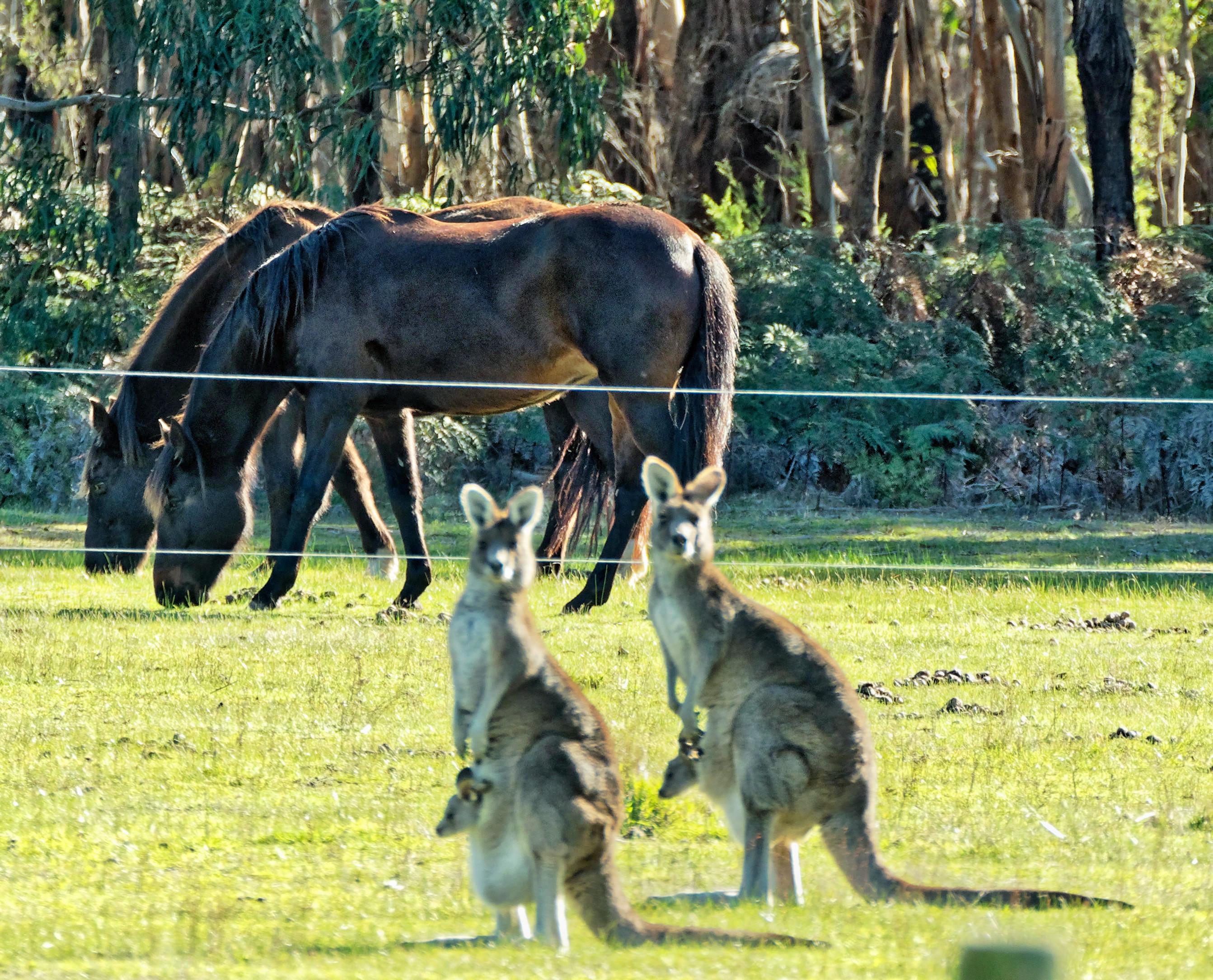 Kangaroos-56.jpeg