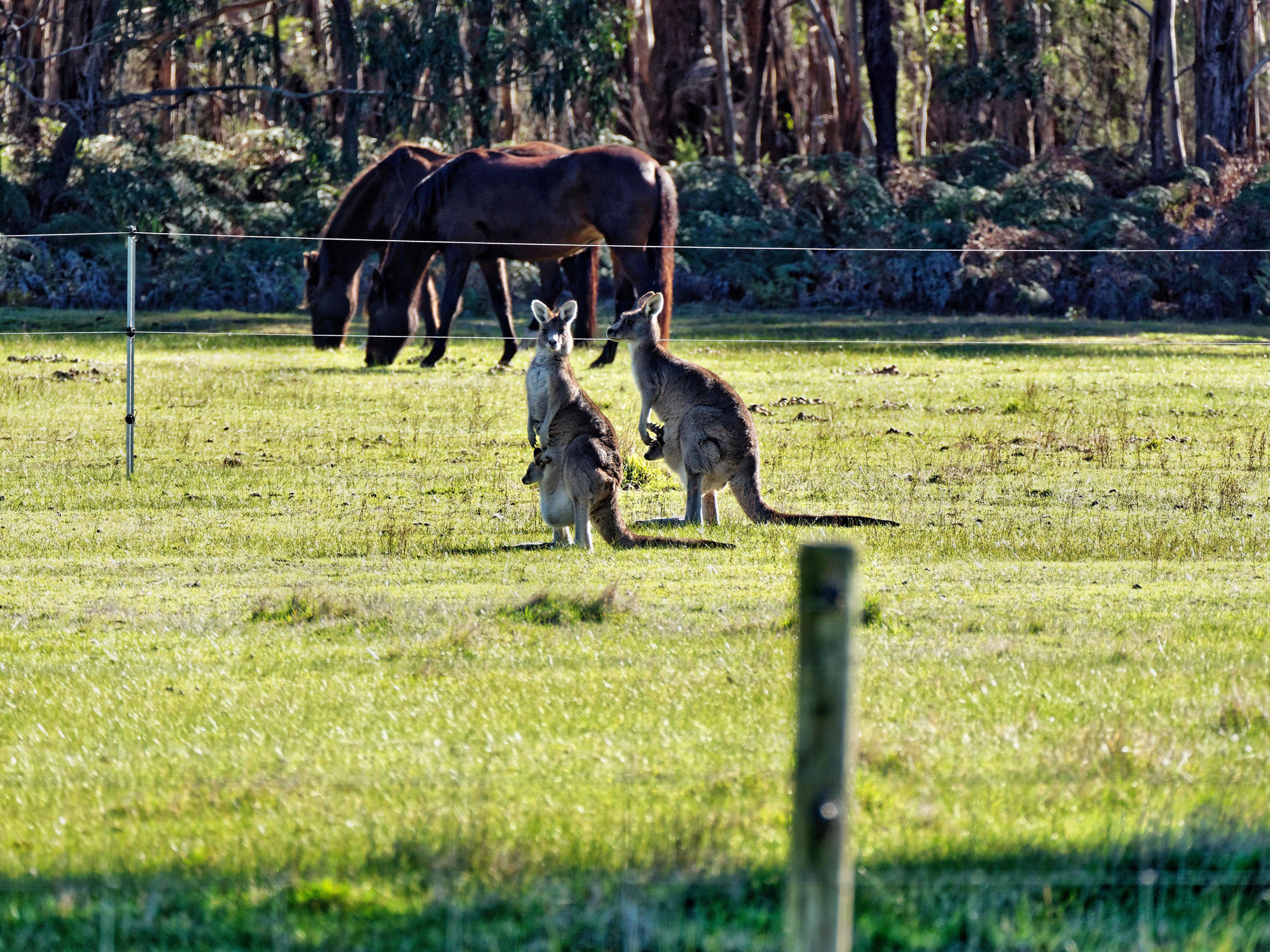 Kangaroos-59.jpeg