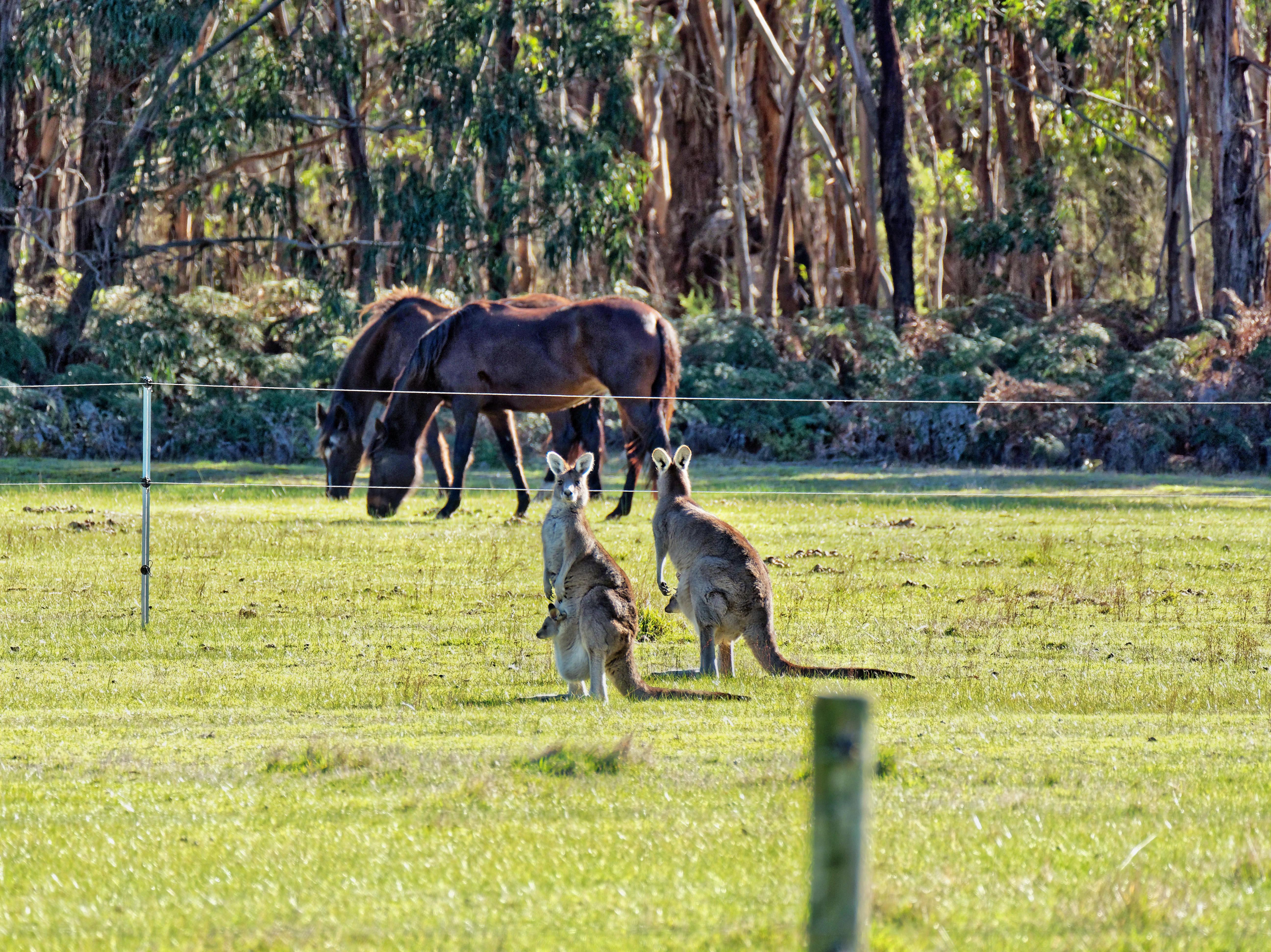 Kangaroos-62.jpeg