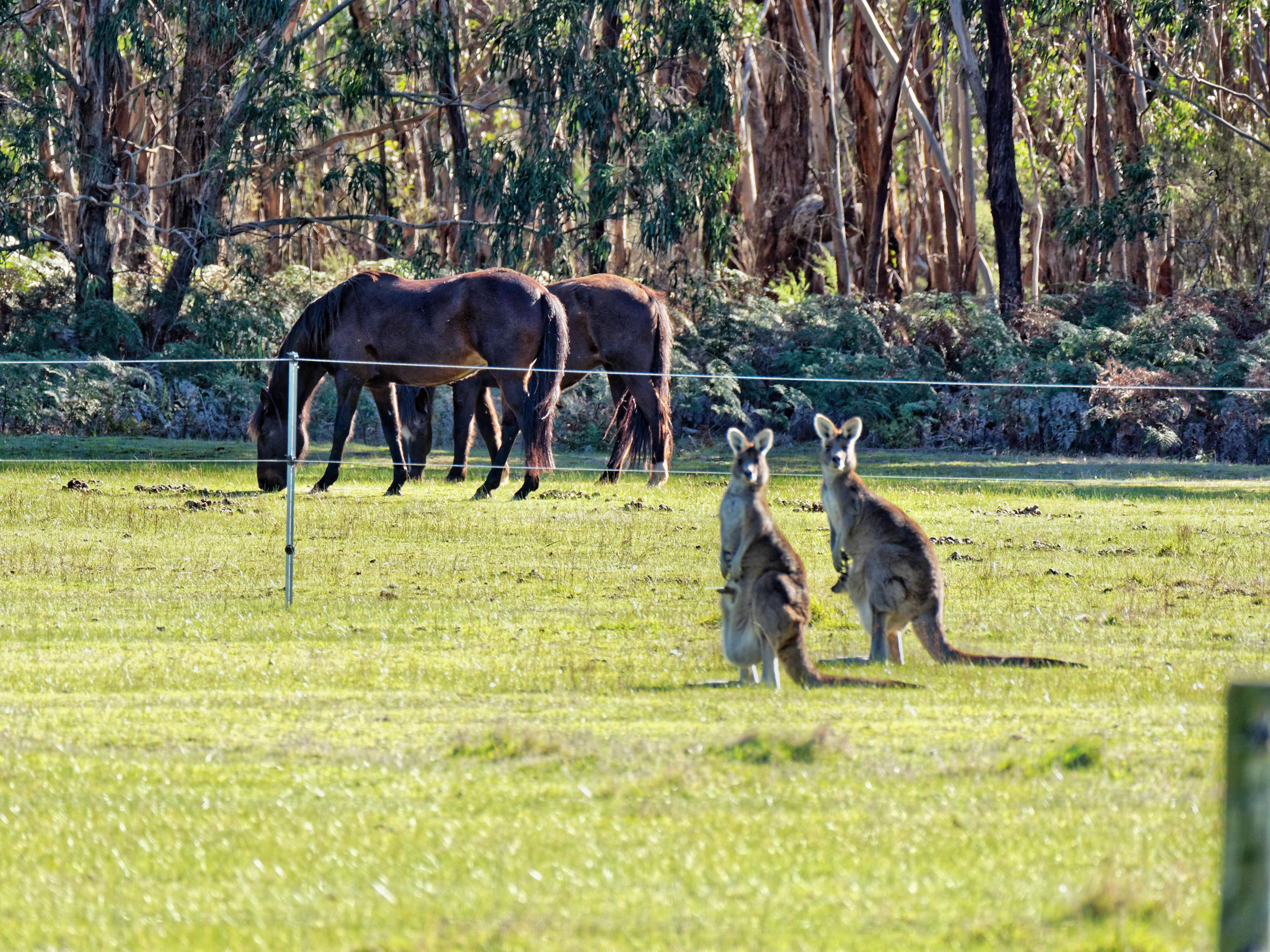 Kangaroos-65.jpeg