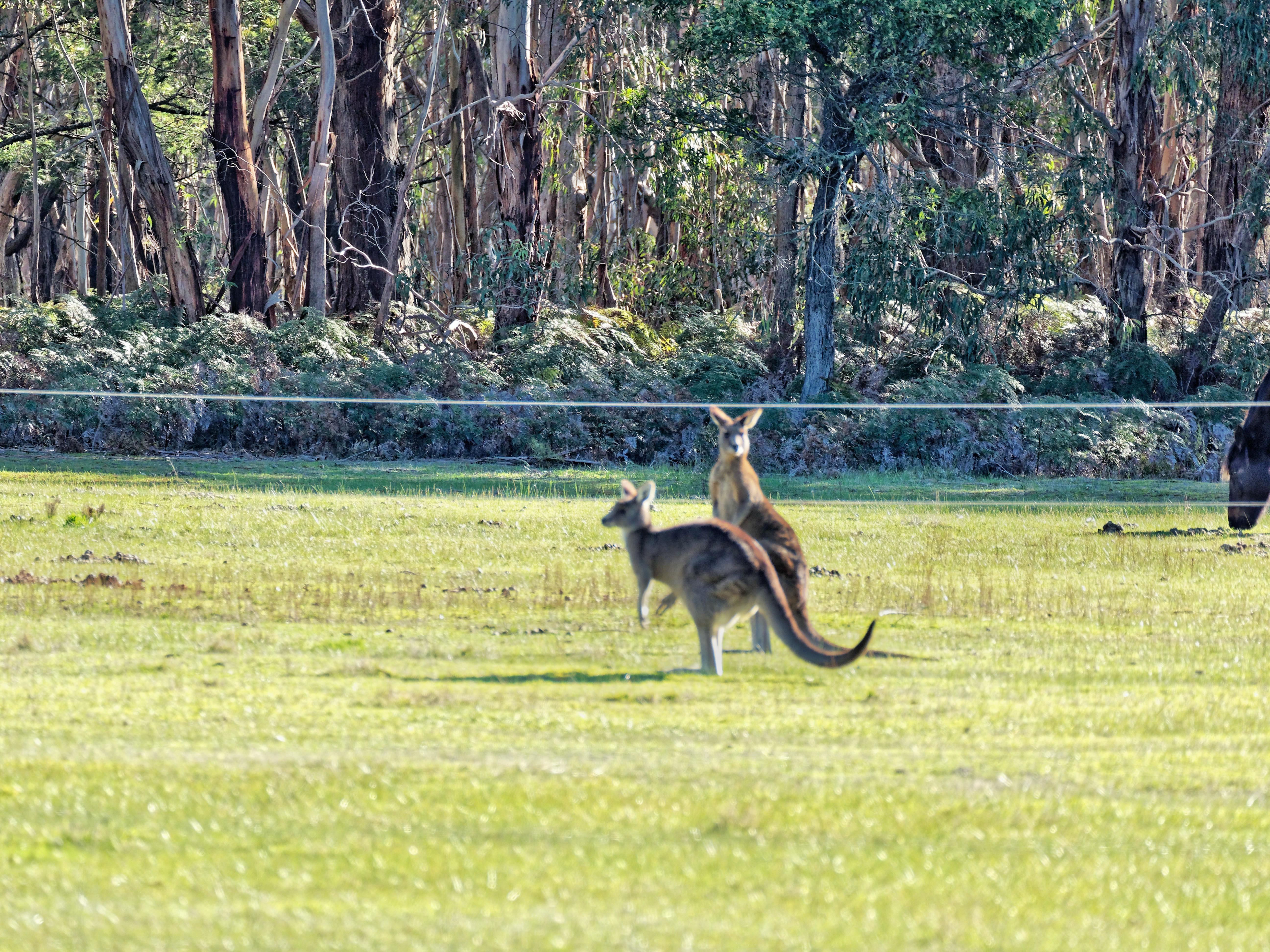 Kangaroos-69.jpeg