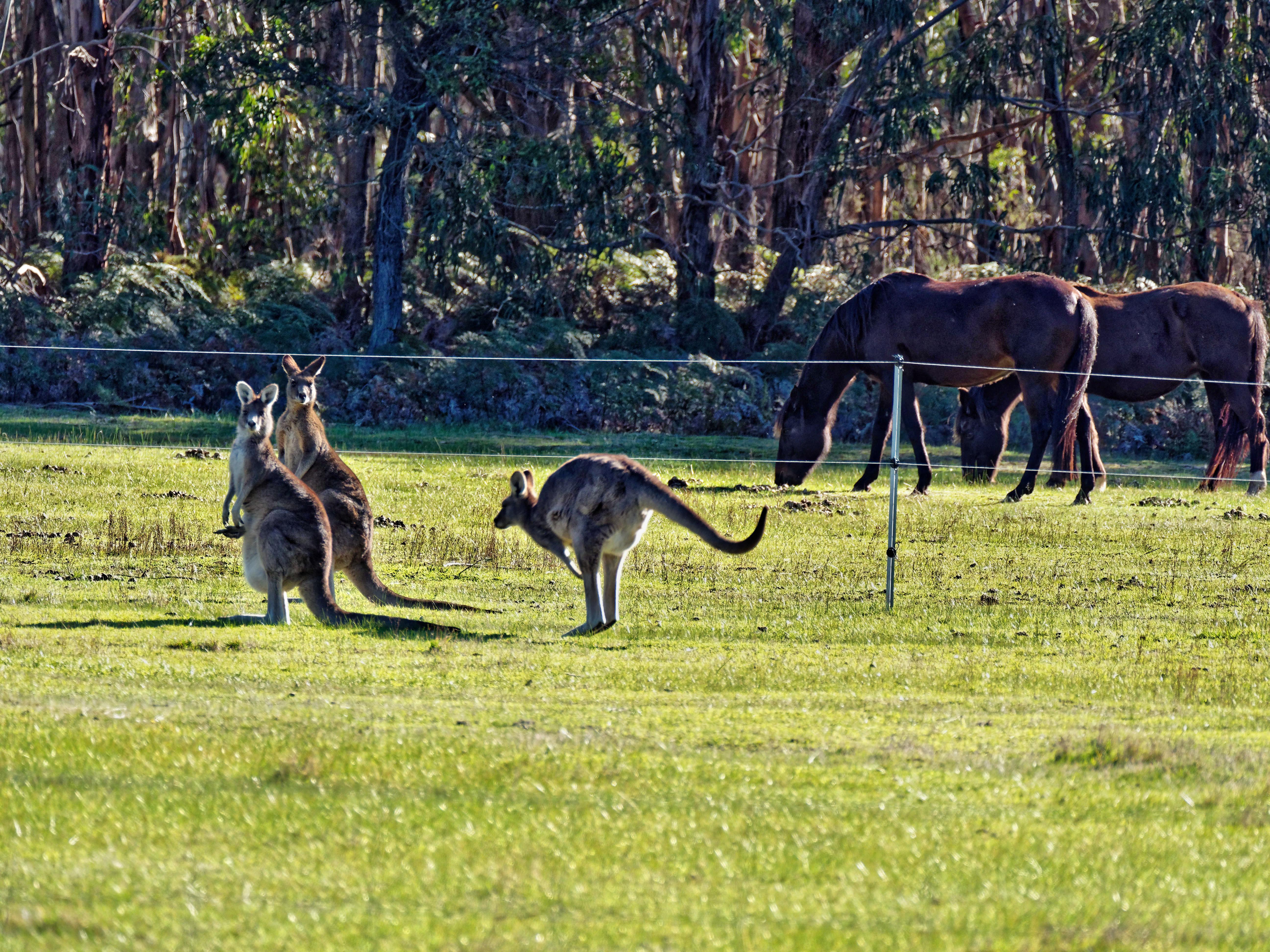Kangaroos-70.jpeg