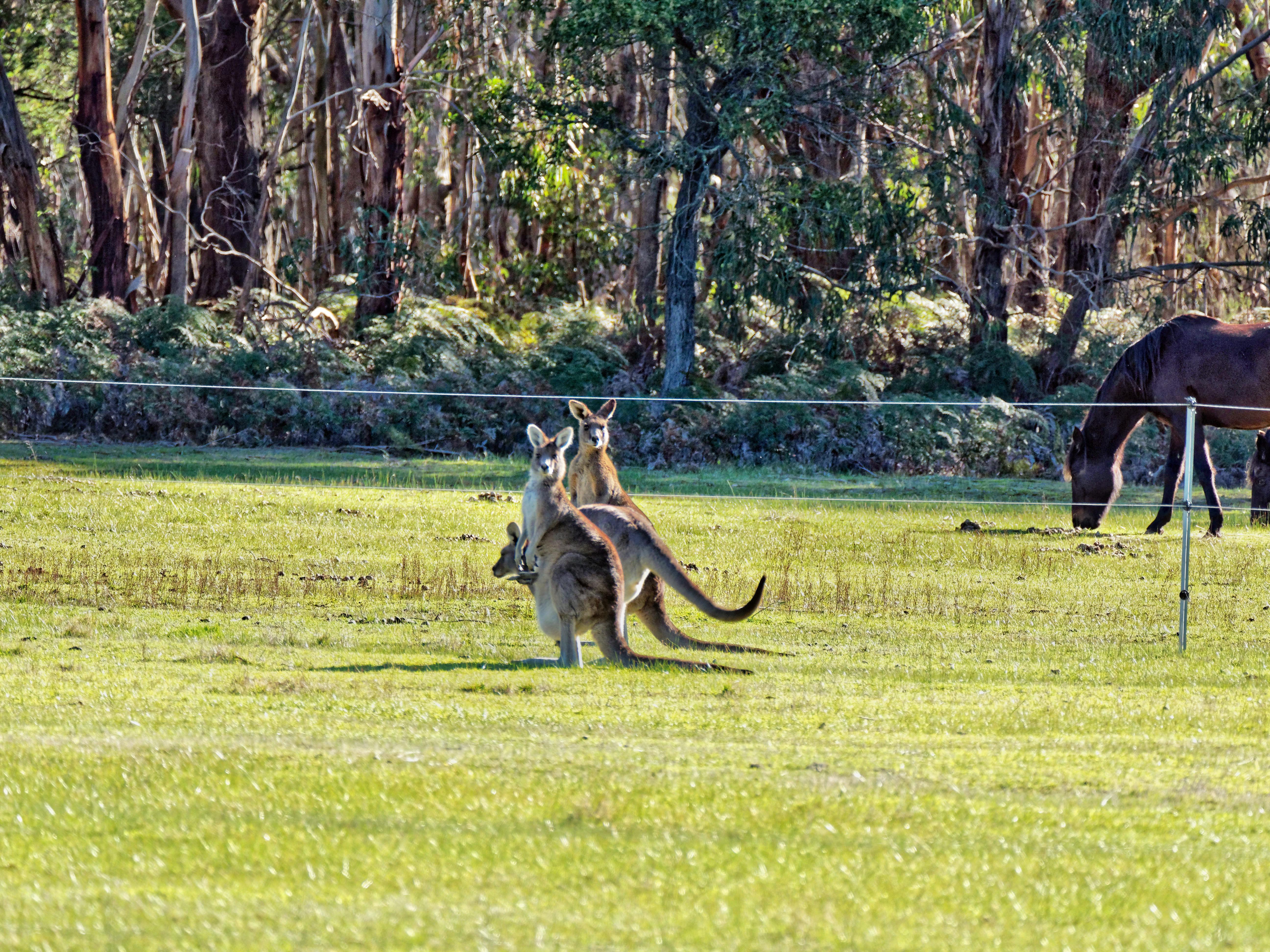 Kangaroos-71.jpeg