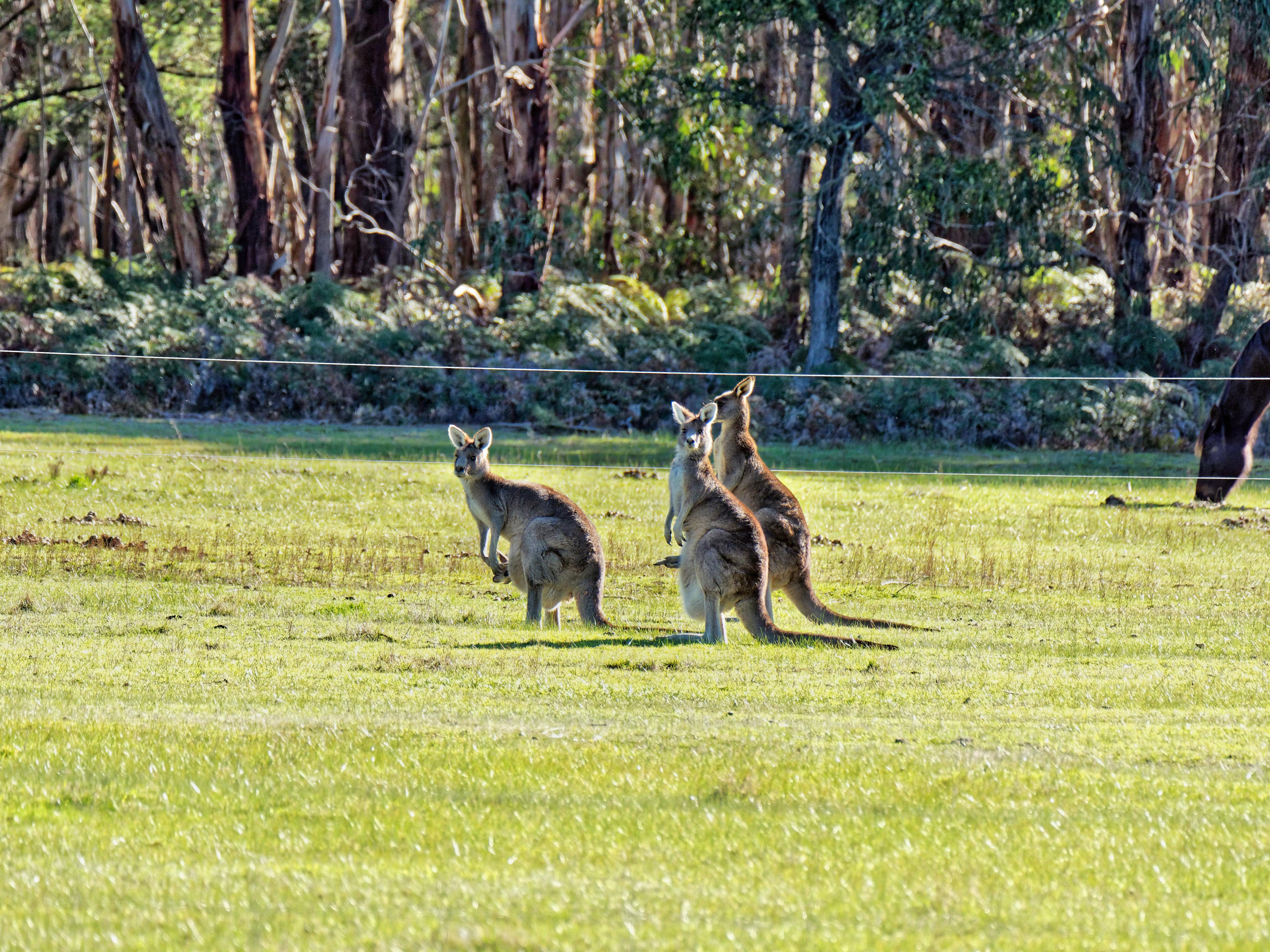 Kangaroos-73.jpeg