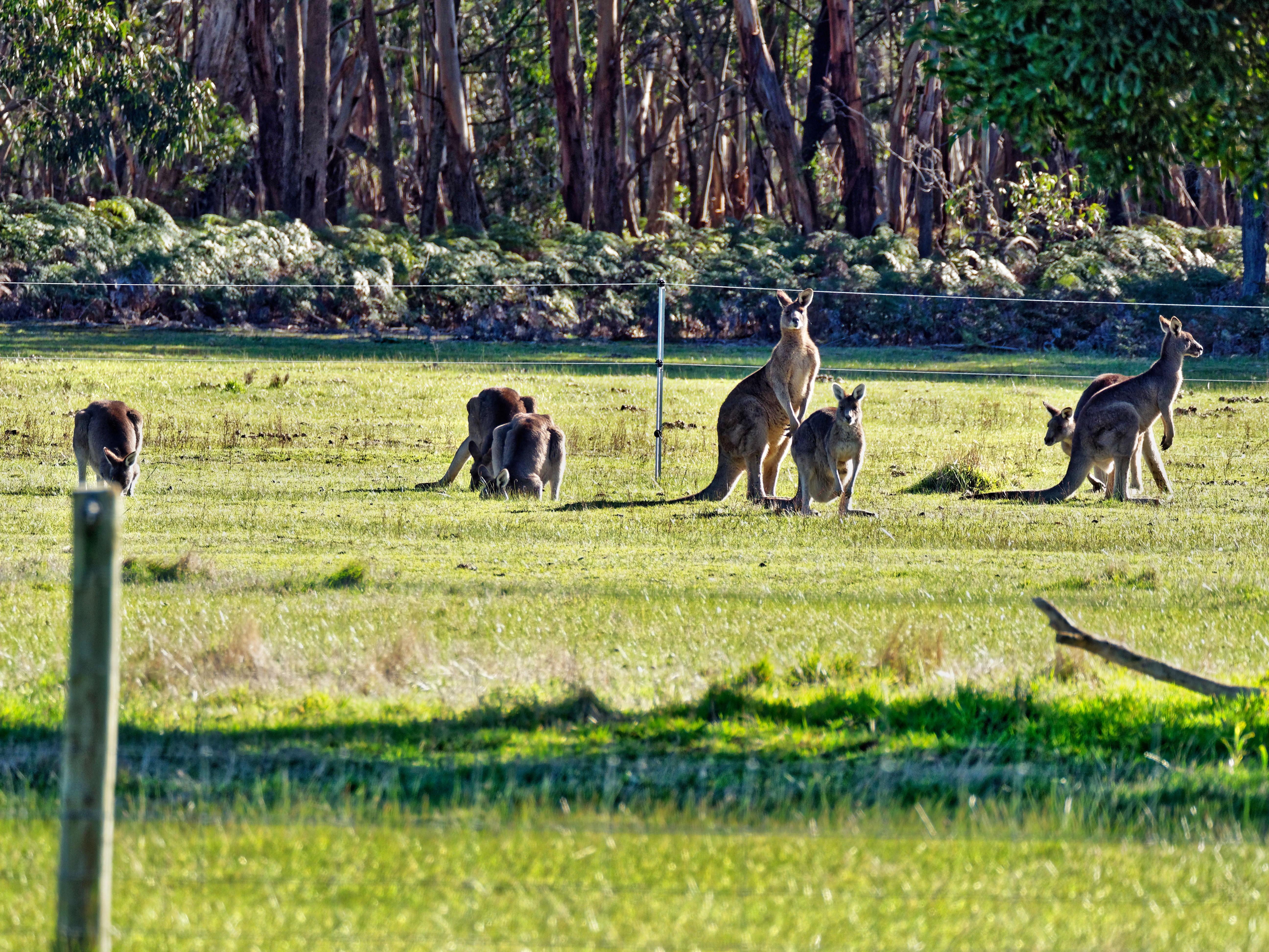 Kangaroos-77.jpeg