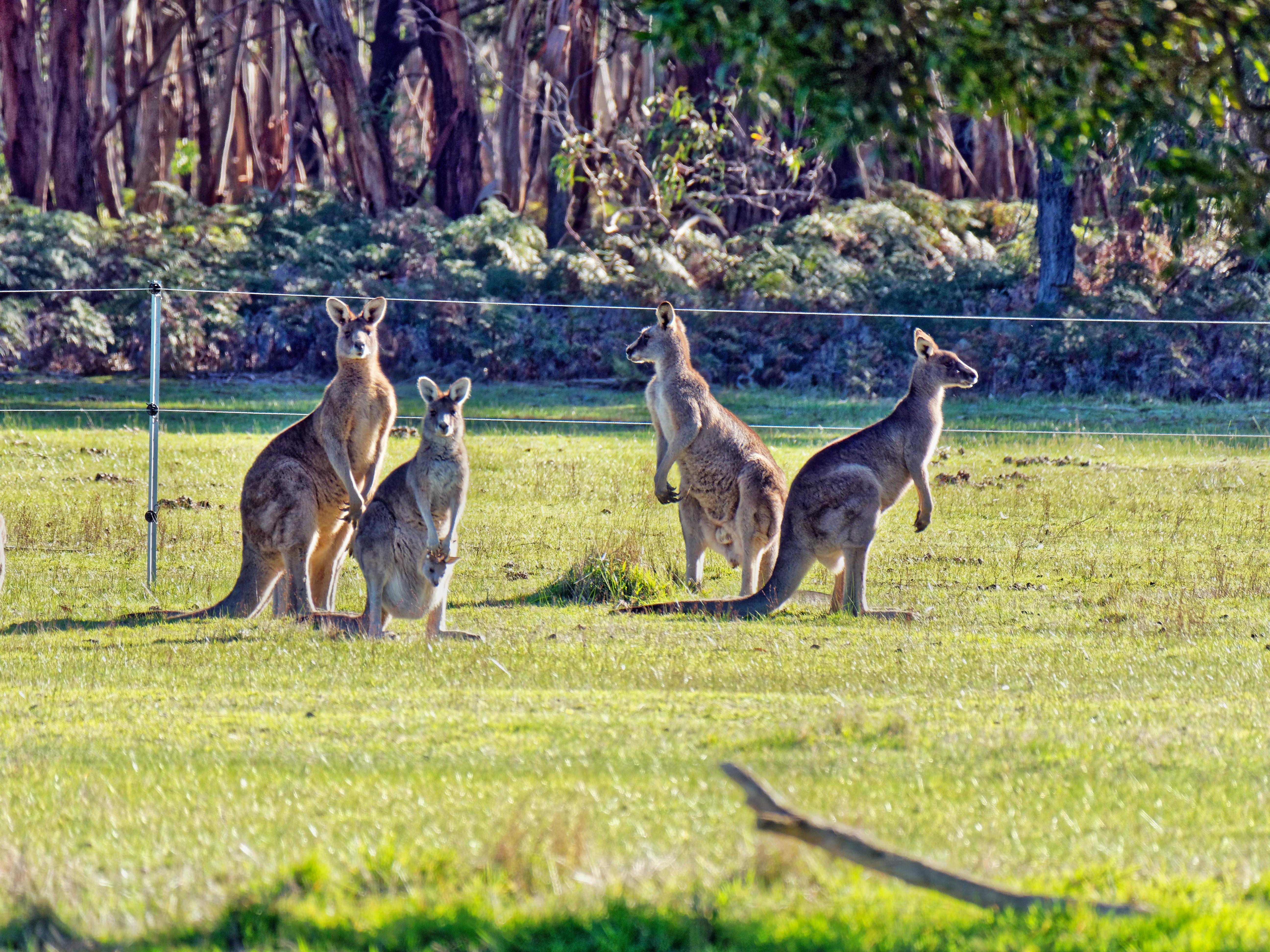 Kangaroos-79.jpeg