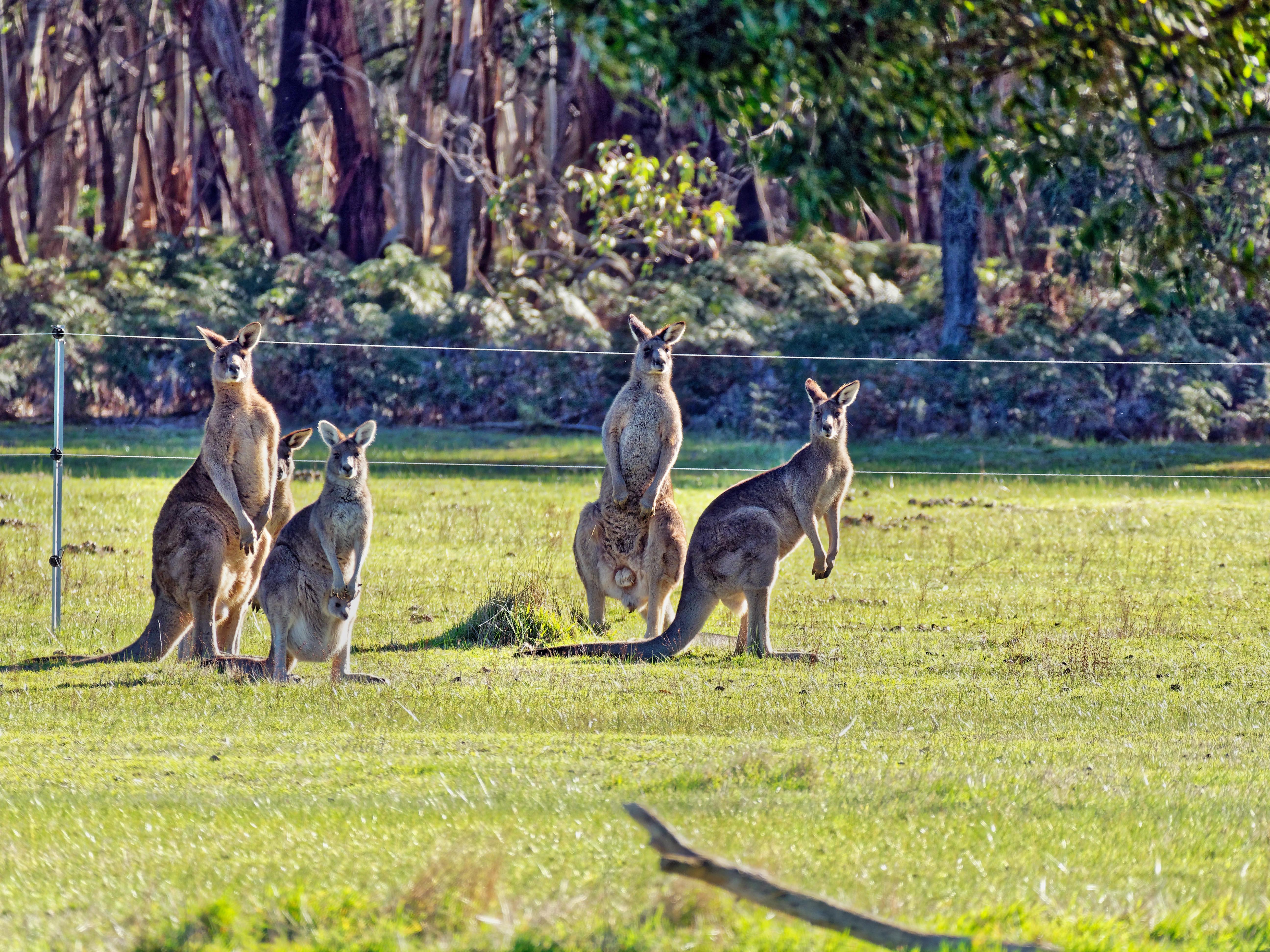 Kangaroos-83.jpeg
