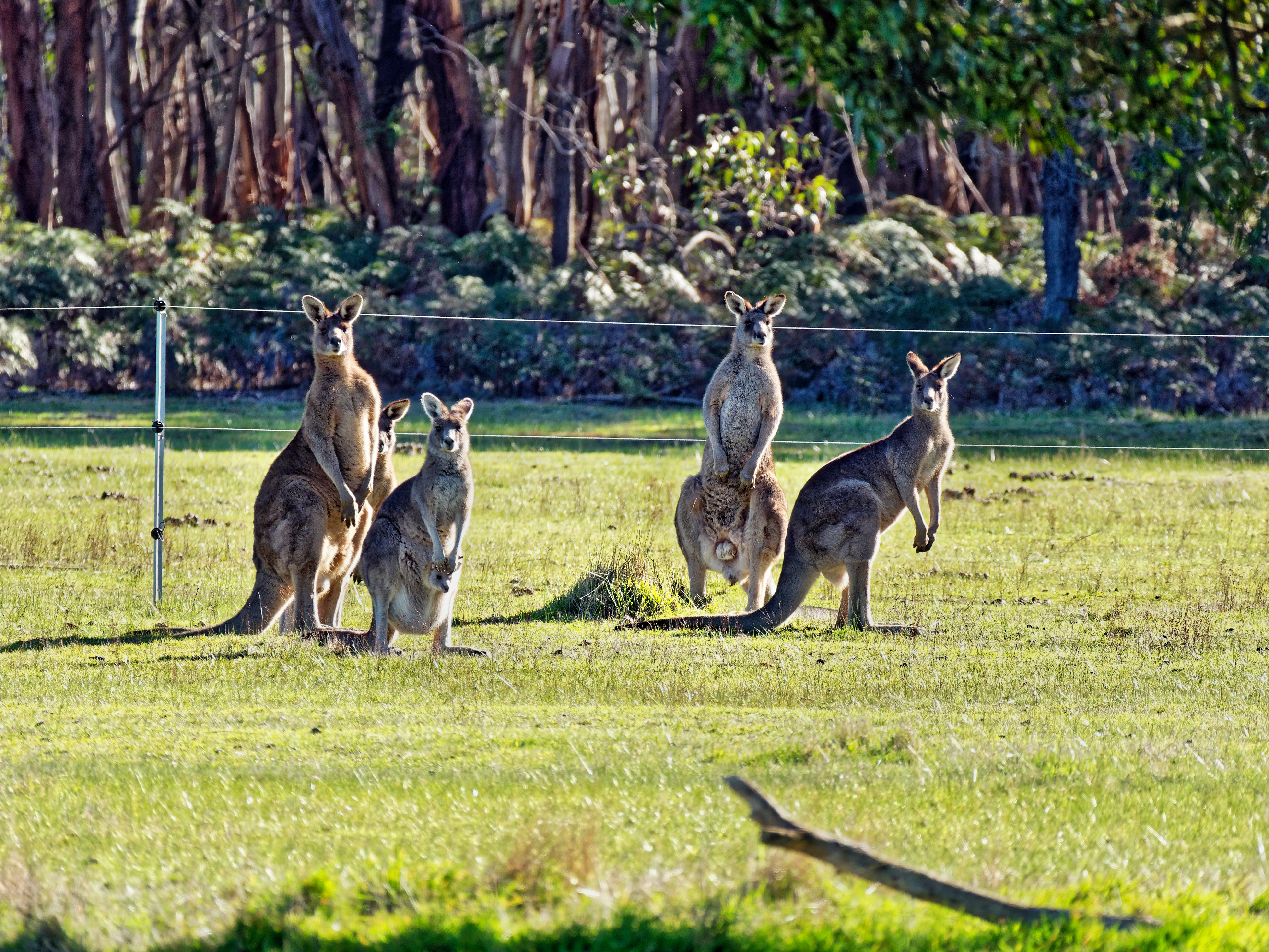 Kangaroos-84.jpeg