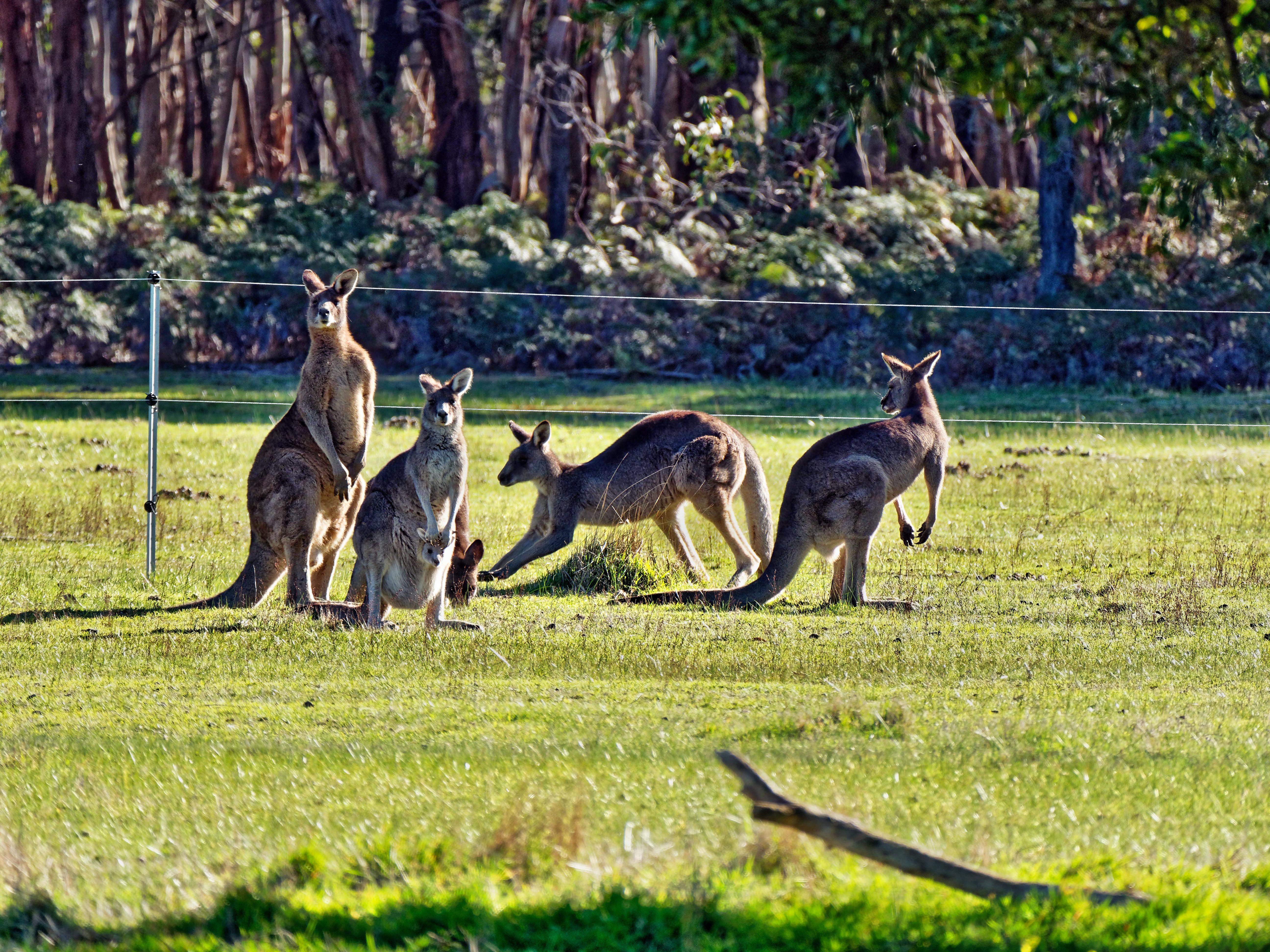 Kangaroos-85.jpeg