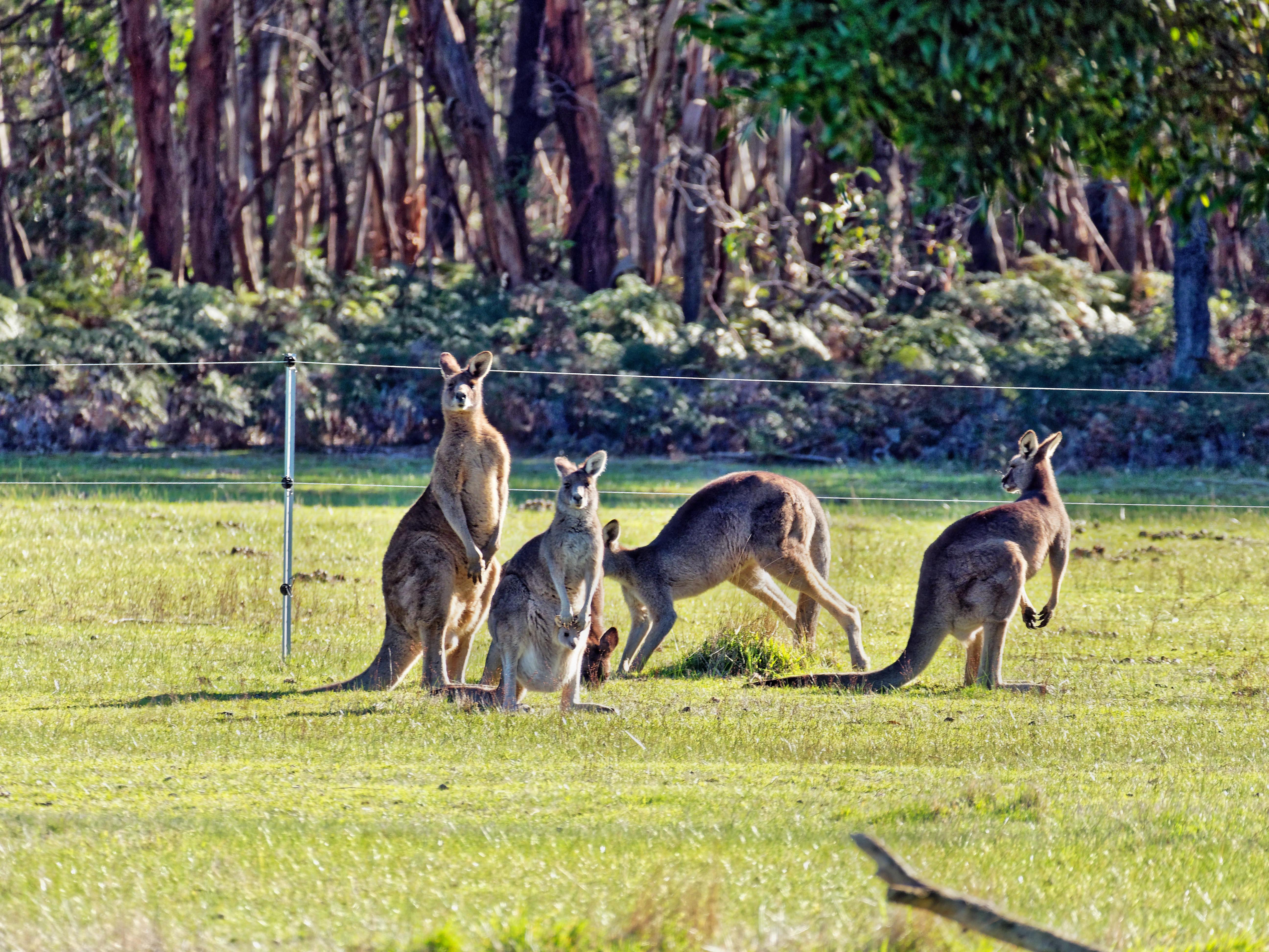 Kangaroos-86.jpeg