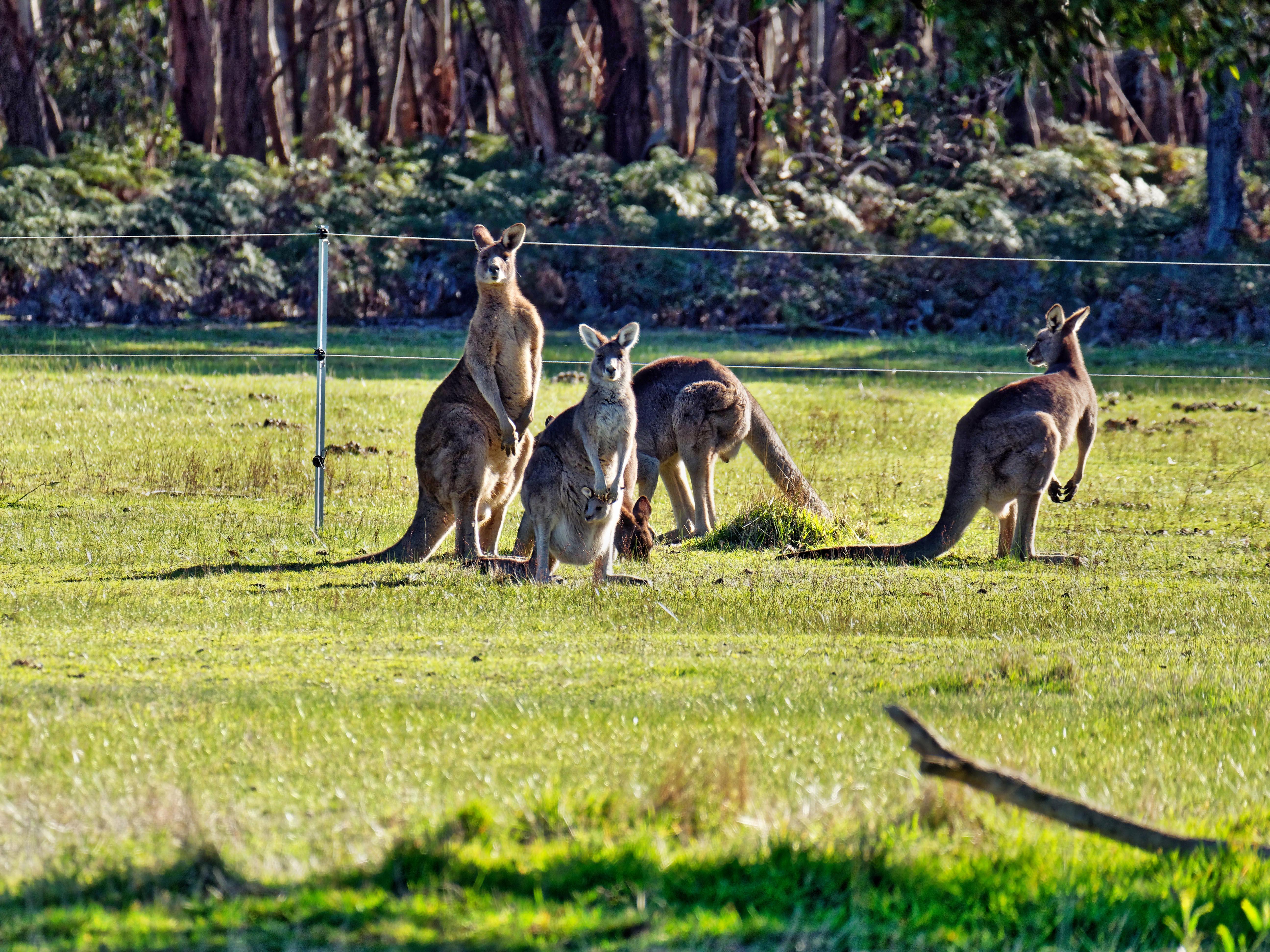 Kangaroos-87.jpeg