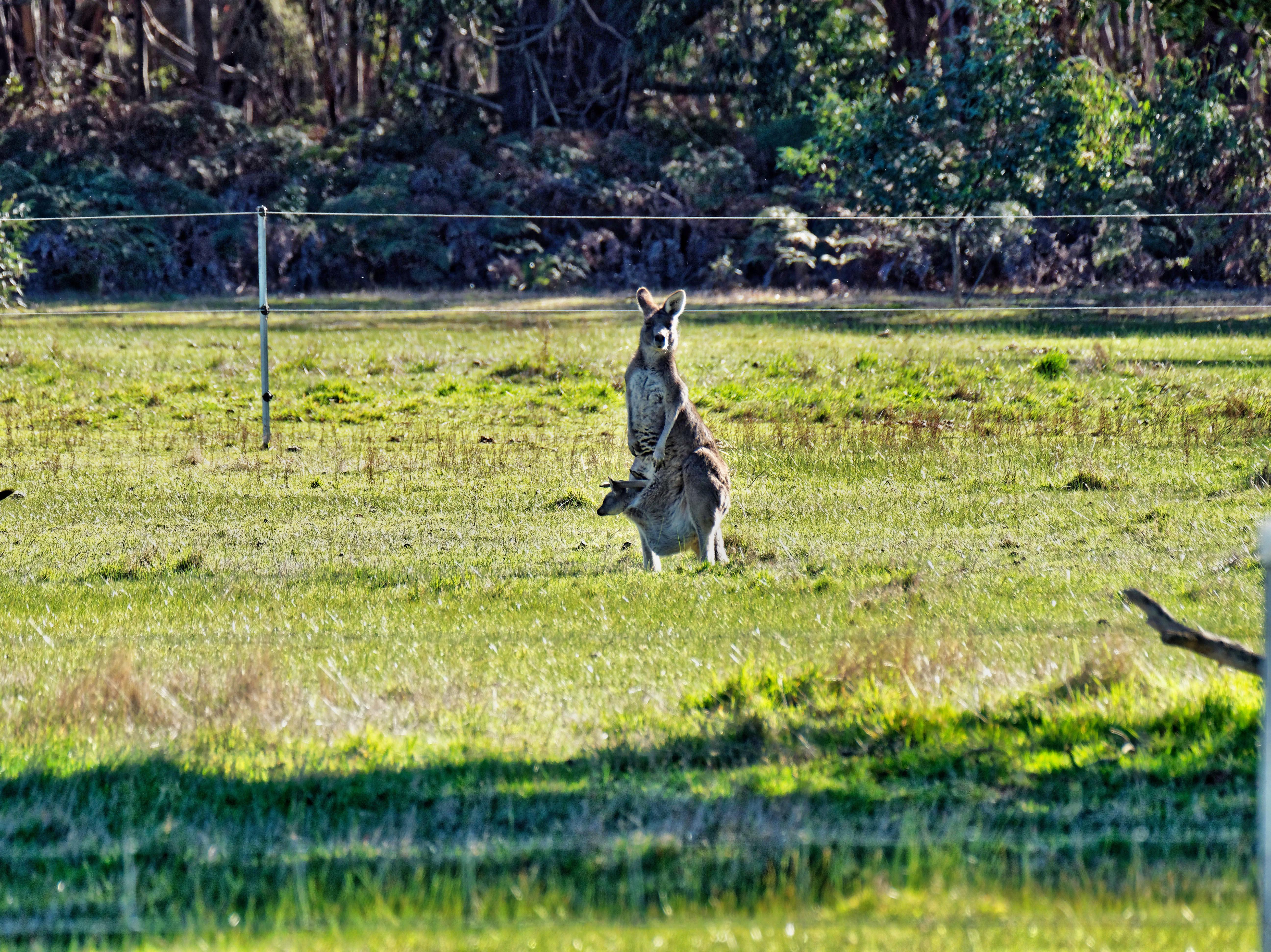 Kangaroos-9.jpeg