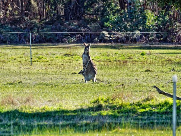 Kangaroos-13.jpeg