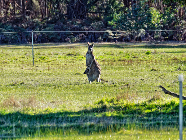 Kangaroos-14.jpeg