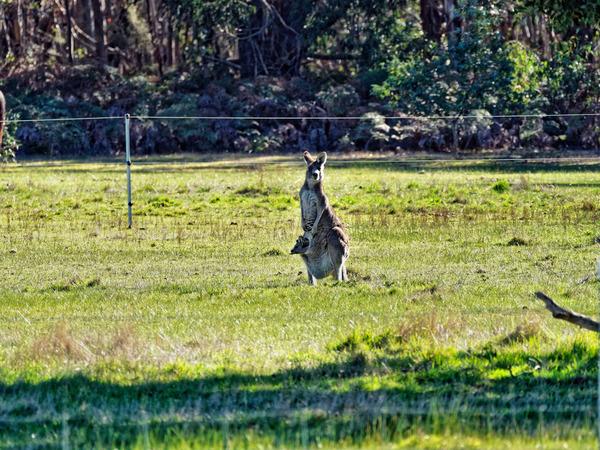 Kangaroos-15.jpeg