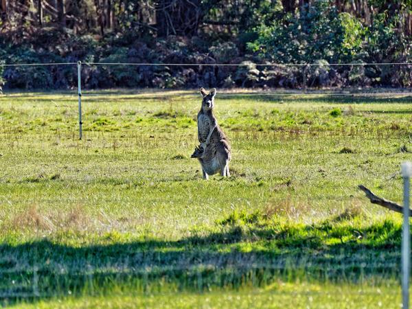Kangaroos-16.jpeg