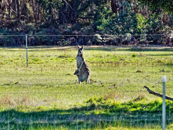 Kangaroos-19.jpeg