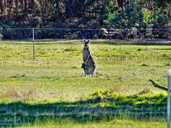 Kangaroos-22.jpeg