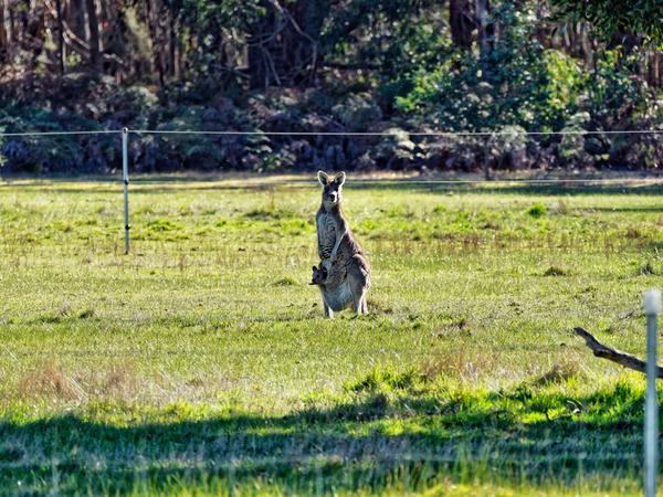 Kangaroos-24.jpeg