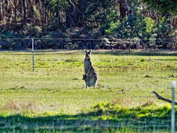 Kangaroos-25.jpeg