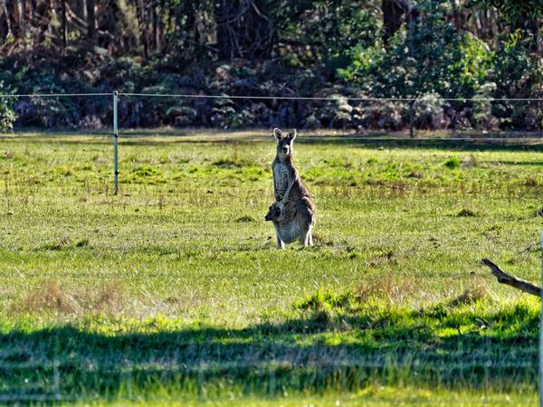Kangaroos-29.jpeg