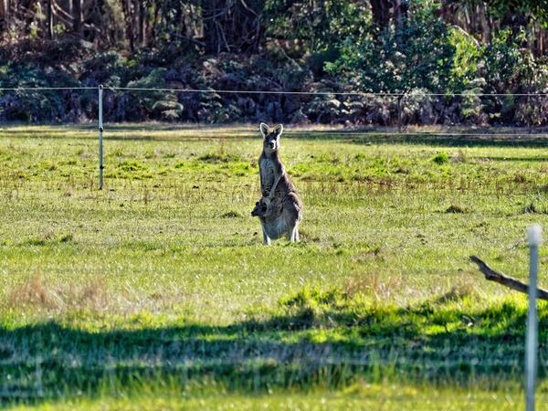 Kangaroos-30.jpeg