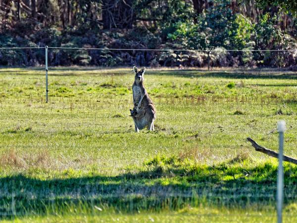 Kangaroos-31.jpeg