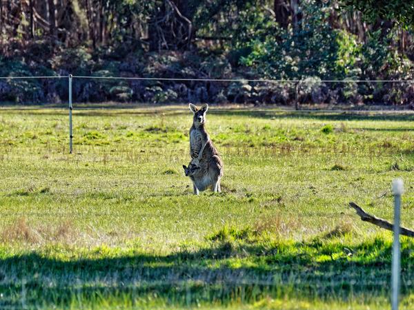 Kangaroos-34.jpeg