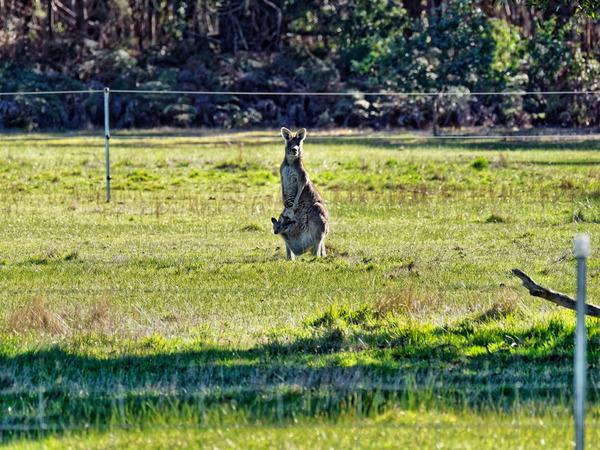 Kangaroos-36.jpeg