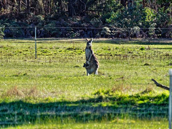 Kangaroos-37.jpeg