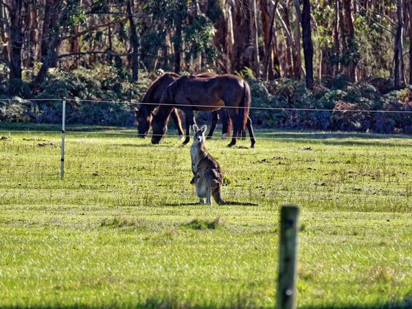 Kangaroos-39.jpeg