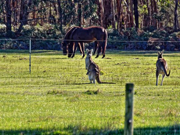 Kangaroos-40.jpeg