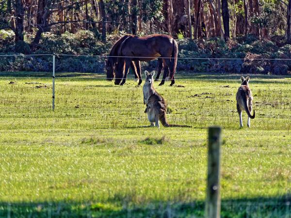 Kangaroos-41.jpeg