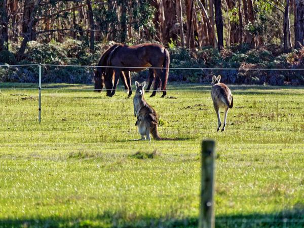 Kangaroos-42.jpeg