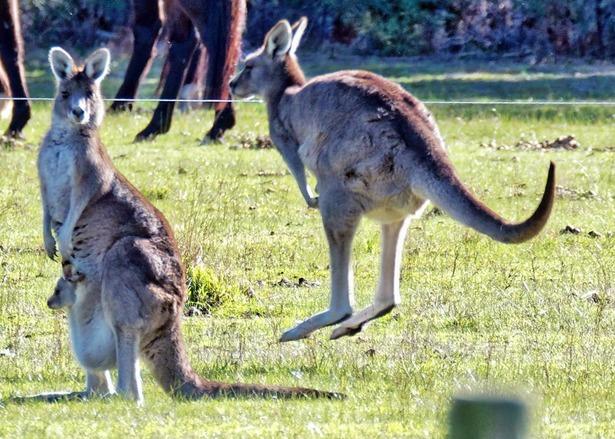 Kangaroos-43-detail-2.jpeg