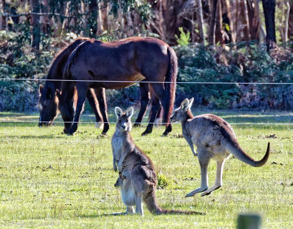Kangaroos-43-detail.jpeg