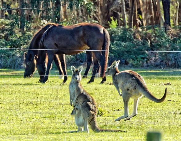 Kangaroos-43.jpeg