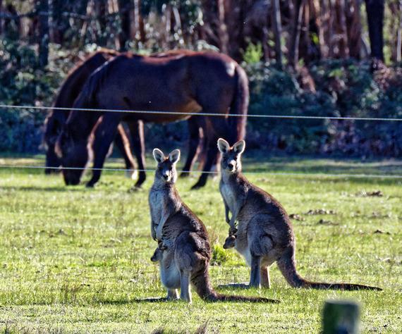 Kangaroos-45-detail.jpeg