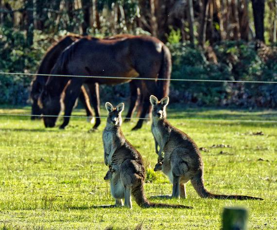 Kangaroos-45.jpeg