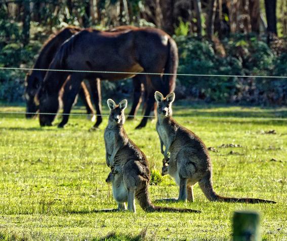 Kangaroos-46.jpeg