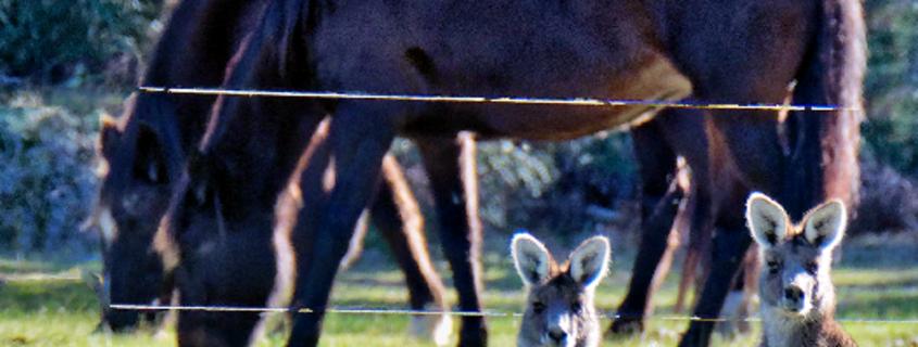 Kangaroos-47-tidied-detail-1.png
