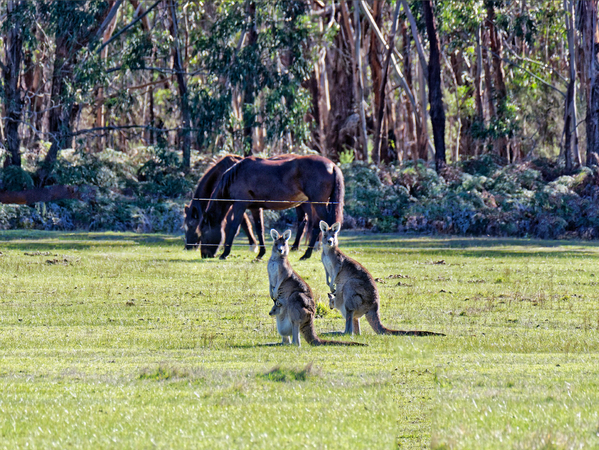 Kangaroos-47-tidied.png