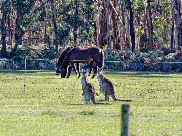 Kangaroos-47.jpeg