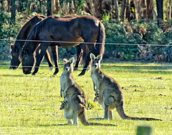 Kangaroos-49.jpeg